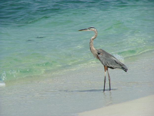 Heron on Nokomis Beach