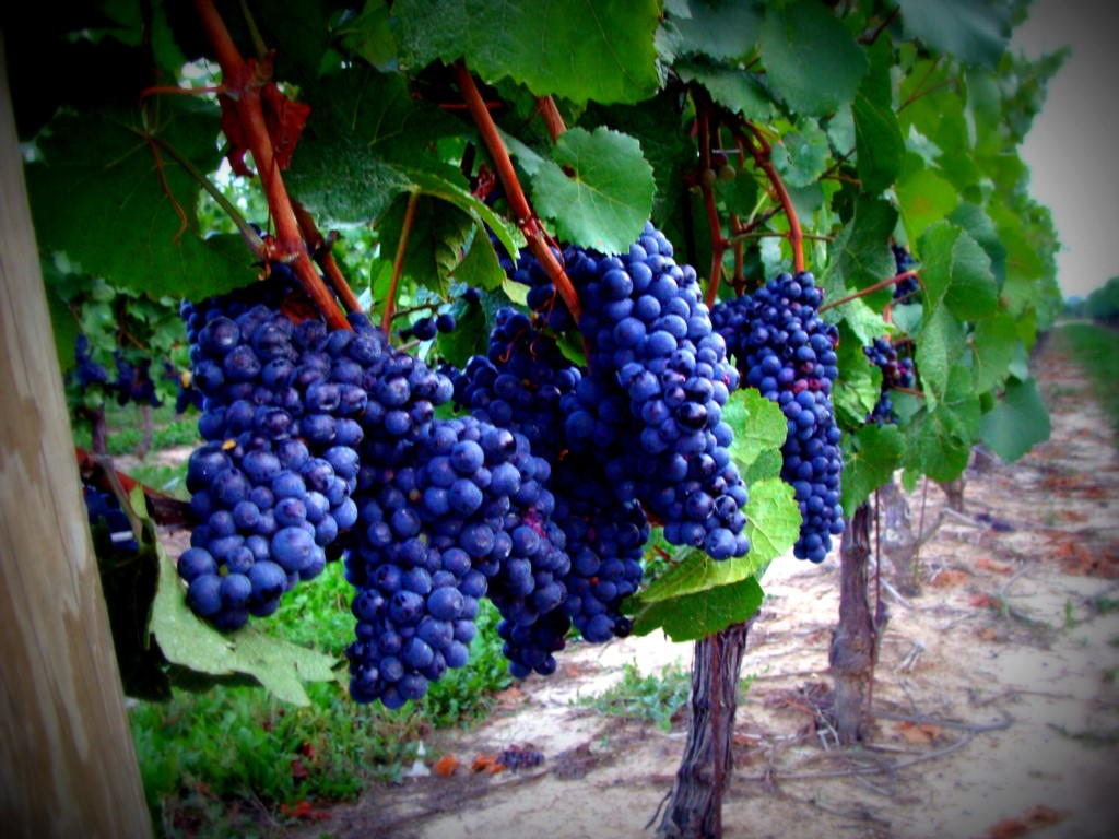 Ready for the harvest of our next great vintage - Niagara-on-the-Lake