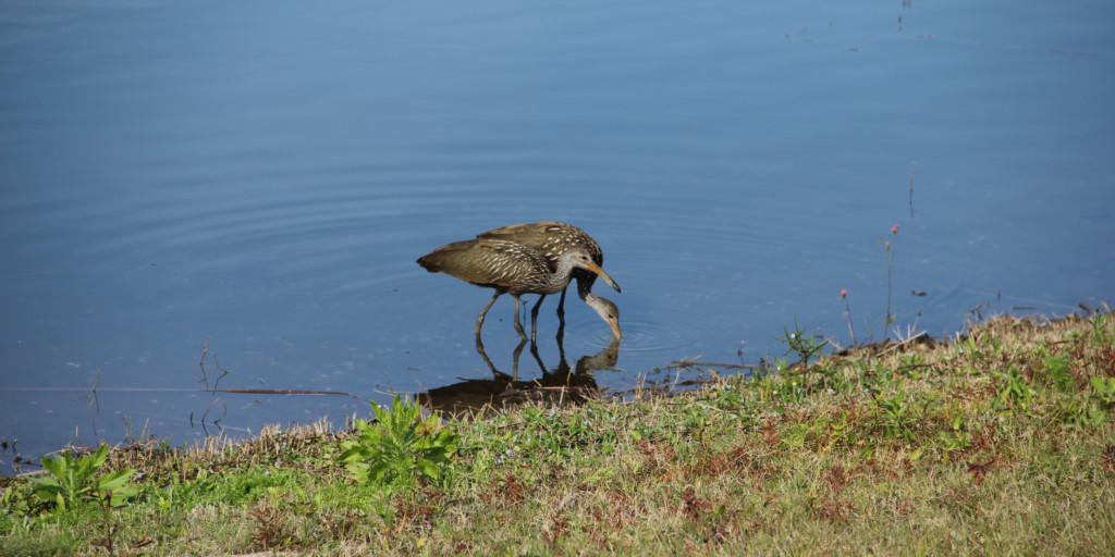 Florida birdlife around lake