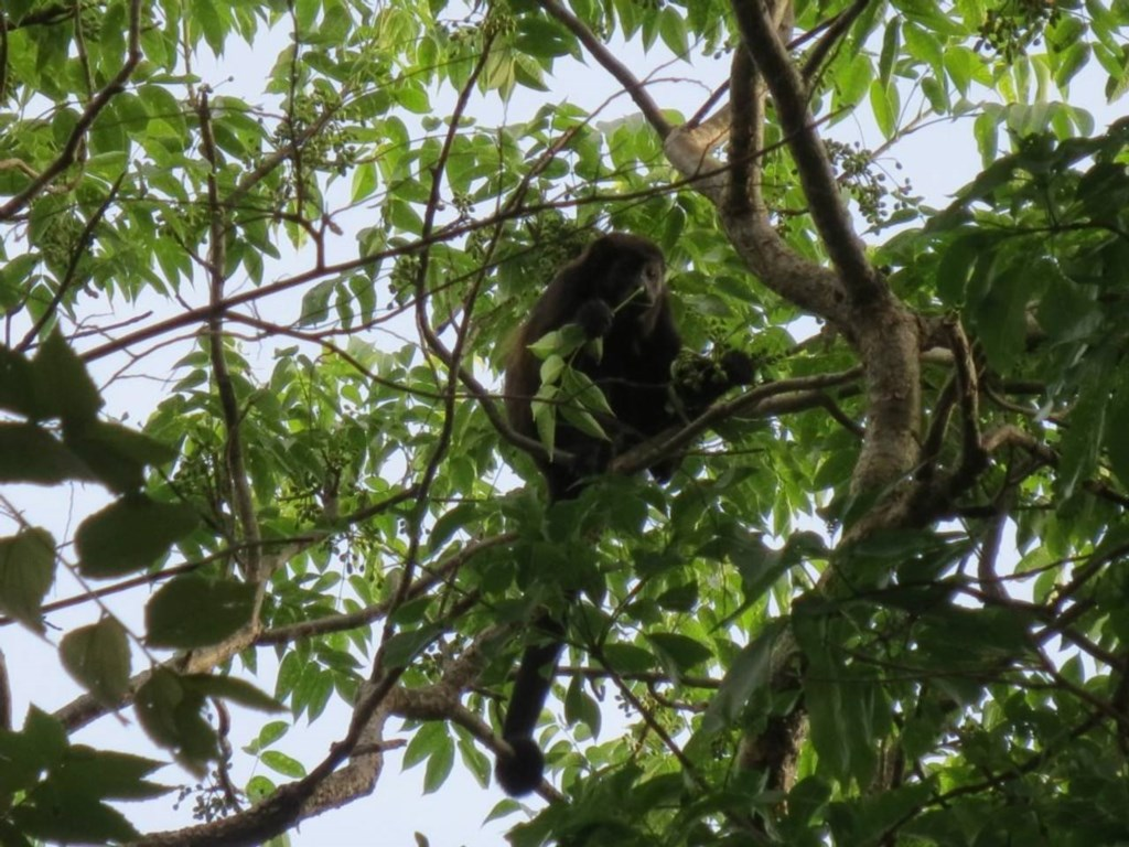 Monkeys eat in the surrounding trees