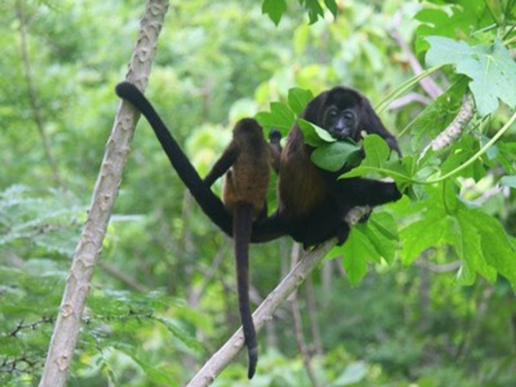 A howler monkey mother and her baby