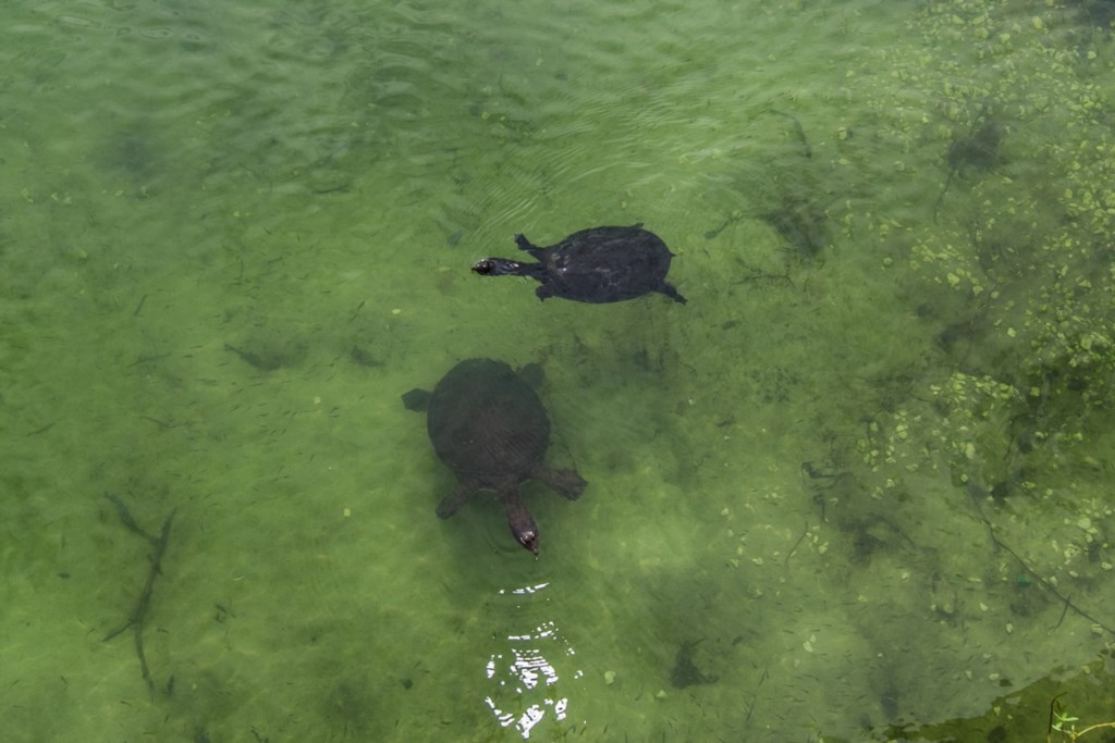 Turtles in lake