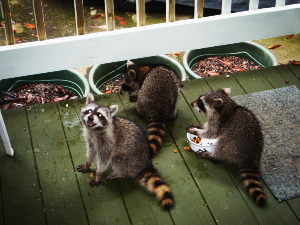 Racoon Sightings!
