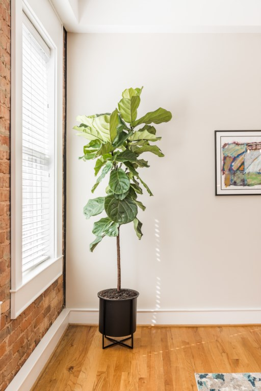 What's a great apartment without a Fiddle Leaf Fig?