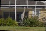 Sandhill Crane - Afternoon Visitor